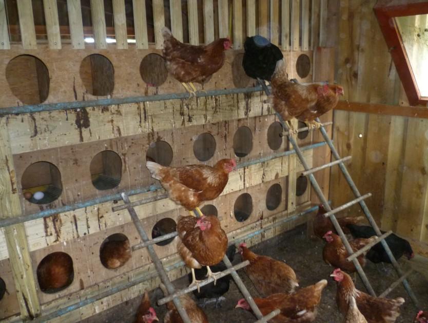 maison des poulets